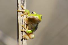在芦苇的雨蛙 图库摄影