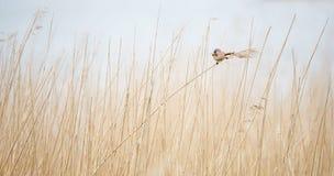 在芦苇的Beared山雀 免版税库存图片