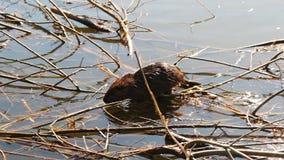 在芦苇的Nutria步行在池塘