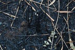 在芦苇以后被烧的灰  库存照片