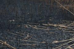 在芦苇以后被烧的灰  免版税库存照片