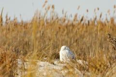 在芦苇围拢的海滩,天空的斯诺伊猫头鹰 库存图片