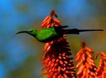 在芦荟的Sunbird 免版税库存图片