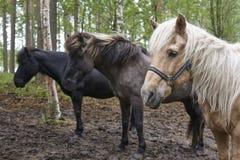 在芬兰森林风景的马 动物背景 免版税库存照片