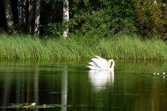 在芬兰湖的美丽的天鹅有绿色森林背景 免版税库存图片