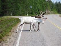 在芬兰的路的自创鹿 免版税库存照片