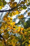 在芬芳小山的槭树叶子 库存图片