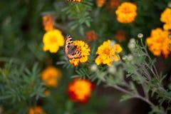 在花万寿菊的蝴蝶 库存图片