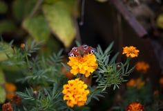 在花万寿菊的蝴蝶 免版税库存图片