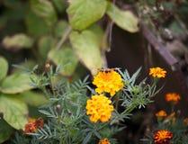 在花万寿菊的蝴蝶 图库摄影