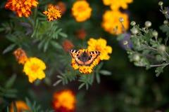 在花万寿菊的蝴蝶 免版税图库摄影
