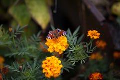 在花万寿菊的蝴蝶 库存照片