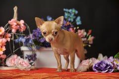 在花中的奇瓦瓦狗 免版税库存图片