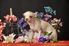 在花中的奇瓦瓦狗 库存图片