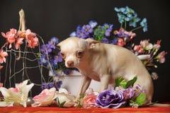 在花中的奇瓦瓦狗 图库摄影