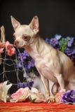 在花中的奇瓦瓦狗 库存照片