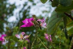 在花中的小的绿色鸟在泰国 库存图片