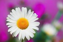 在花中的春黄菊 库存照片