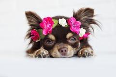 在花冠的奇瓦瓦狗狗 库存图片