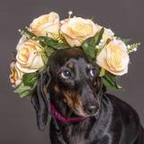 在花冠的害羞的腊肠犬狗 免版税库存图片