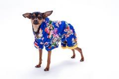 在花卉图案服装的女性玩具狗 库存图片
