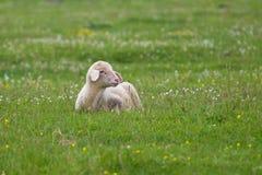 在花卉领域的羊羔 库存图片
