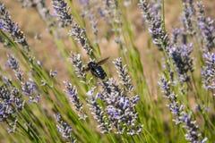 在花和植物的昆虫飞行寻找花粉 免版税图库摄影