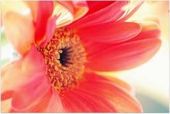 在花和雄芯花蕊的宏观焦点 免版税图库摄影