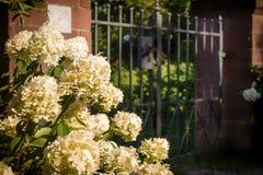 在花园大门前面的白色八仙花属 免版税库存照片