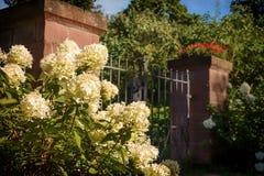 在花园大门前面的白色八仙花属 免版税库存图片