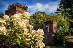 在花园大门前面的白色八仙花属 图库摄影