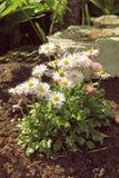在花圃关闭的白色延命菊花 库存图片