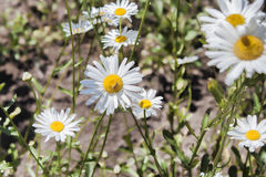 在花圃的一些棵春黄菊 库存图片
