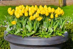 在花圃的充满活力的黄色郁金香花盆的 免版税库存照片