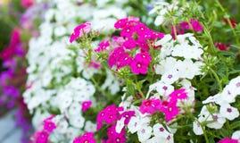 在花圃的明亮的庭院花 免版税库存照片