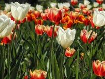 在花圃的春天郁金香 免版税库存图片