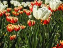在花圃的春天郁金香 免版税库存照片