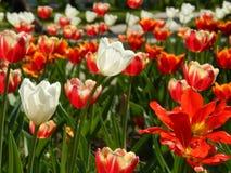 在花圃的春天郁金香 图库摄影