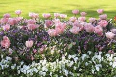 在花圃的桃红色郁金香在蝴蝶花中 免版税图库摄影