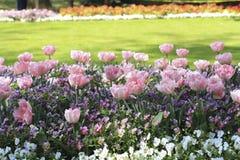在花圃的桃红色郁金香在蝴蝶花中 免版税库存图片