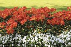 在花圃的橙红郁金香在蝴蝶花中 免版税库存图片