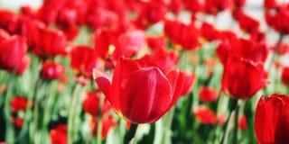 在花圃的红色郁金香 变老的照片 宏指令 免版税库存照片