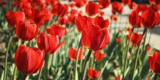 在花圃的红色郁金香 变老的照片 宏指令 免版税库存图片