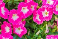 在花圃的美丽的桃红色紫色喇叭花花背景的 喇叭花是我们的一张最普遍的夏天地貌面, 免版税图库摄影