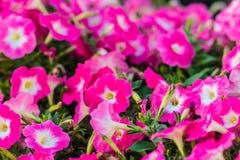 在花圃的美丽的桃红色紫色喇叭花花背景的 喇叭花是我们的一张最普遍的夏天地貌面, 免版税库存图片