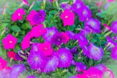 在花圃的美丽的桃红色紫色喇叭花花背景的 喇叭花是我们的一张最普遍的夏天地貌面, 免版税库存照片
