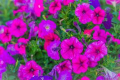 在花圃的美丽的桃红色紫色喇叭花花背景的 喇叭花是我们的一张最普遍的夏天地貌面, 库存照片
