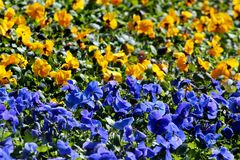 在花圃的蓝色和黄色中提琴花,乌克兰旗子的颜色 免版税库存照片