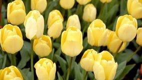 在花圃的黄色郁金香 股票录像