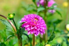 在花圃背景的大丽花  在花的重点 浅 库存照片